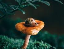 Lite nyfiken snigel på en orange kantarellchampinjon i mossan Magisk skogmakronärbild, grön suddig bakgrund royaltyfria foton