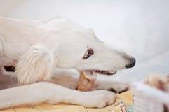 Lite och den gulliga fullblods- vita vinthunden för perser för salukivalphund tafsar att äta ett ben som hemma kopplas av och att arkivfoton