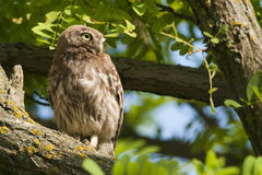Lite Owl Royaltyfria Foton