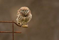 Lite Owlstirrande Arkivfoton