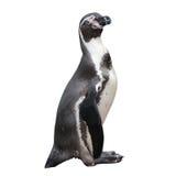 Lite pingvin Arkivbild