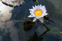 Lite purple water lily during the sunny day Royalty Free Stock Photo