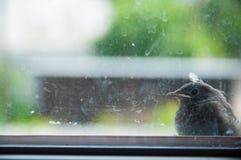 Lite sitter fågeln på fönsterbrädan utanför smutsigt exponeringsglas royaltyfria bilder