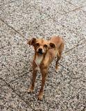 Lite smart hund som är klar att starta spela arkivfoton