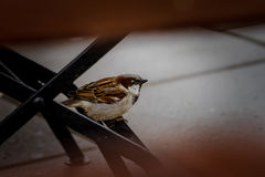 Lite sparrow Royaltyfri Bild