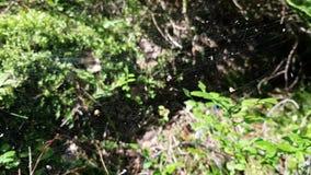 Lite spindelnät i träna Det hänger fröt av växter och sidor av träd