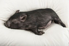 Lite svart sova för pig Royaltyfria Bilder