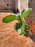 Lite träd som växer till och med den spruckna cementväggen arkivfoto