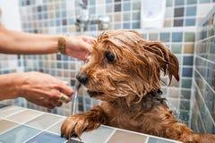 Lite våt gullig och härlig fullblods- Yorkshire Terrier hund som försöker att fly från badkaret, därför att han universitetslärar royaltyfri bild