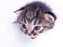 Lite 2 veckor gammal kattunge Royaltyfria Bilder