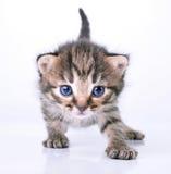 Lite 2 veckor gammal kattunge Arkivbild