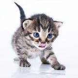 Lite 2 veckor gammal kattunge Royaltyfri Foto