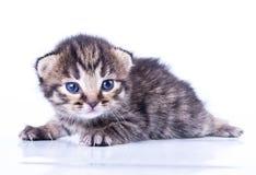 Lite 2 veckor gammal kattunge Fotografering för Bildbyråer