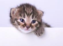 Lite 2 veckor gammal kattunge med ett utrymmebräde Royaltyfri Bild