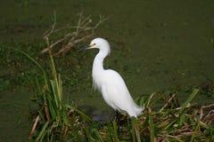 Liten ägretthäger som söker efter föda för mat i sjön Martin Swamp royaltyfria foton