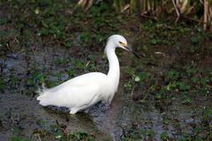 Liten ägretthäger som söker efter föda för mat i sjön Martin Swamp royaltyfri foto