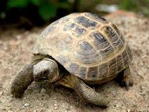 Liten ökensköldpadda Arkivbild