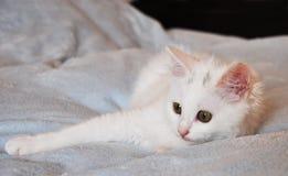liten övre white för tät kattunge Fotografering för Bildbyråer