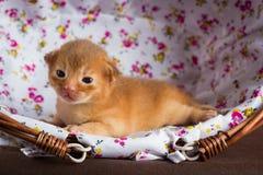 Liten abyssinian kattunge i en korg Royaltyfri Fotografi