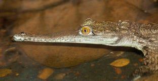 Liten alligator Arkivfoto