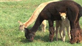 Liten Alpaca arkivfilmer