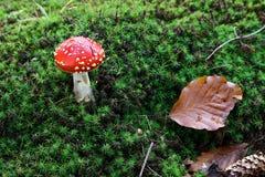Liten amanitamuscaria i mossan Arkivfoton