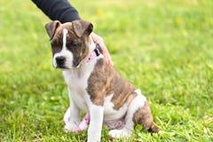 Liten amerikanska staffordshire terrier Fotografering för Bildbyråer
