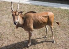 Liten antilop på en landssafarilantgård Royaltyfri Bild