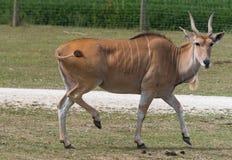 Liten antilop på en landssafarilantgård Royaltyfria Foton