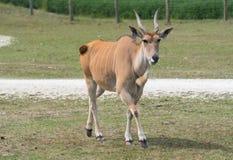 Liten antilop på en landssafarilantgård Royaltyfri Foto