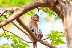 Liten apa (som Krabba-äter macaquen) på träd Arkivfoton