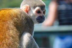 Liten apa som placeras på trä Fotografering för Bildbyråer