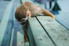 Liten apa som slepping på trä Fotografering för Bildbyråer