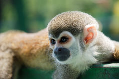 Liten apa som vilar på trä Fotografering för Bildbyråer