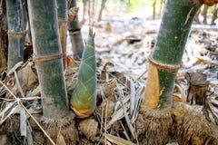 Liten bambufors Royaltyfri Foto