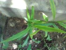 Liten bambuväxt royaltyfria foton