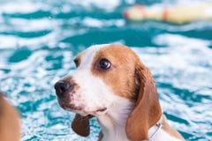 Liten beaglehund på simbassängen Royaltyfri Foto
