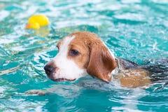Liten beaglehund som spelar på simbassängen Fotografering för Bildbyråer