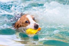 Liten beaglehundsimning i pölen Royaltyfria Foton
