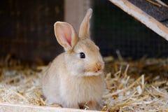 Liten beige kanin som sitter i en lantgård arkivbilder