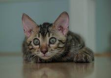 Liten bengal katt Fotografering för Bildbyråer