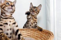 Liten bengal kattunge Arkivbilder