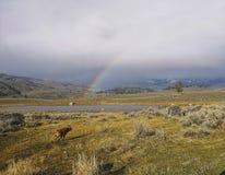 Liten bison som spelar under regnbågen, Yellowstone royaltyfri fotografi