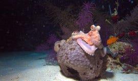 Liten bläckfisk som sitter på korall under nattdyk fotografering för bildbyråer