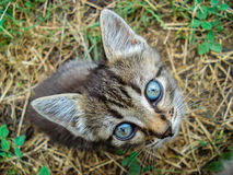 Liten blåögd kattunge Royaltyfria Bilder