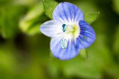 liten blå blomma supermakrosommar för 2009 blomma Royaltyfri Foto