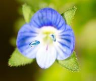 liten blå blomma supermakrosommar för 2009 blomma Royaltyfria Bilder