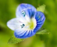 liten blå blomma supermakrosommar för 2009 blomma Arkivfoton