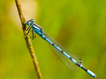 Liten blå drakefluga på stammen royaltyfri foto