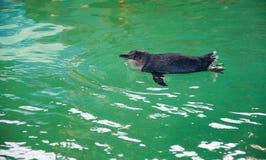 Liten blå pingvinsimning fotografering för bildbyråer
